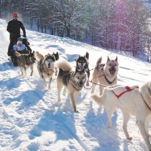 Activité chiens de traîneaux